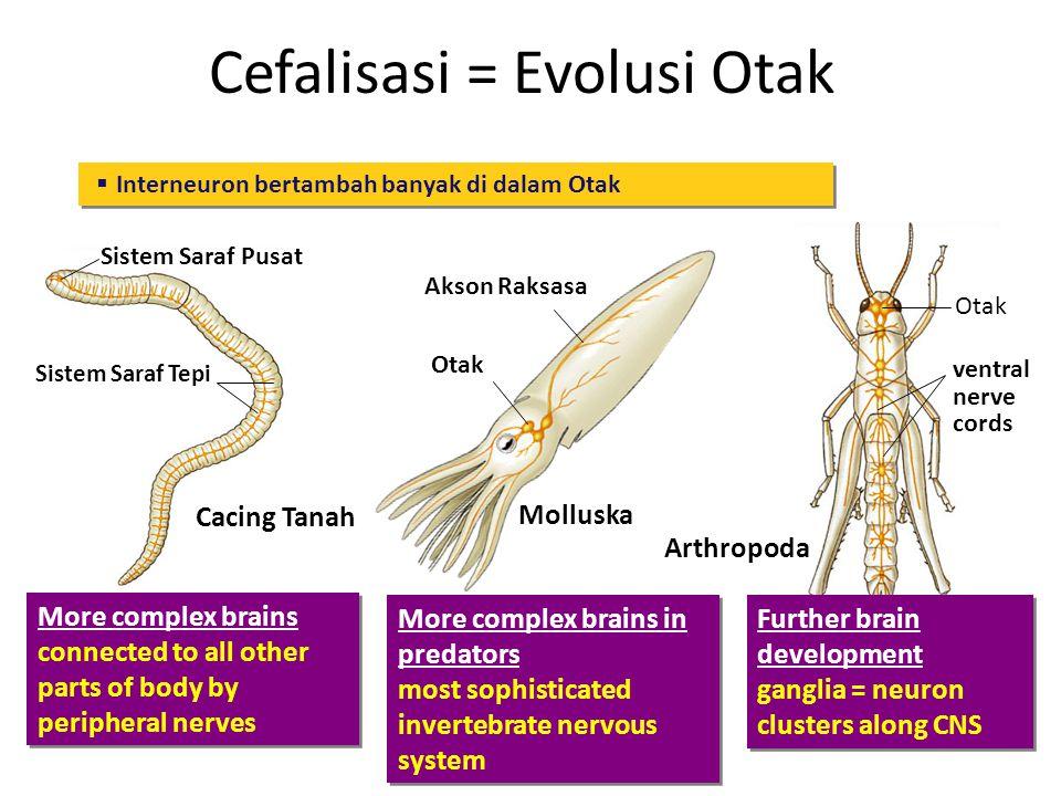 Cefalisasi = Evolusi Otak