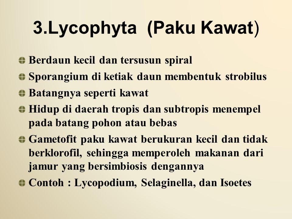3.Lycophyta (Paku Kawat)