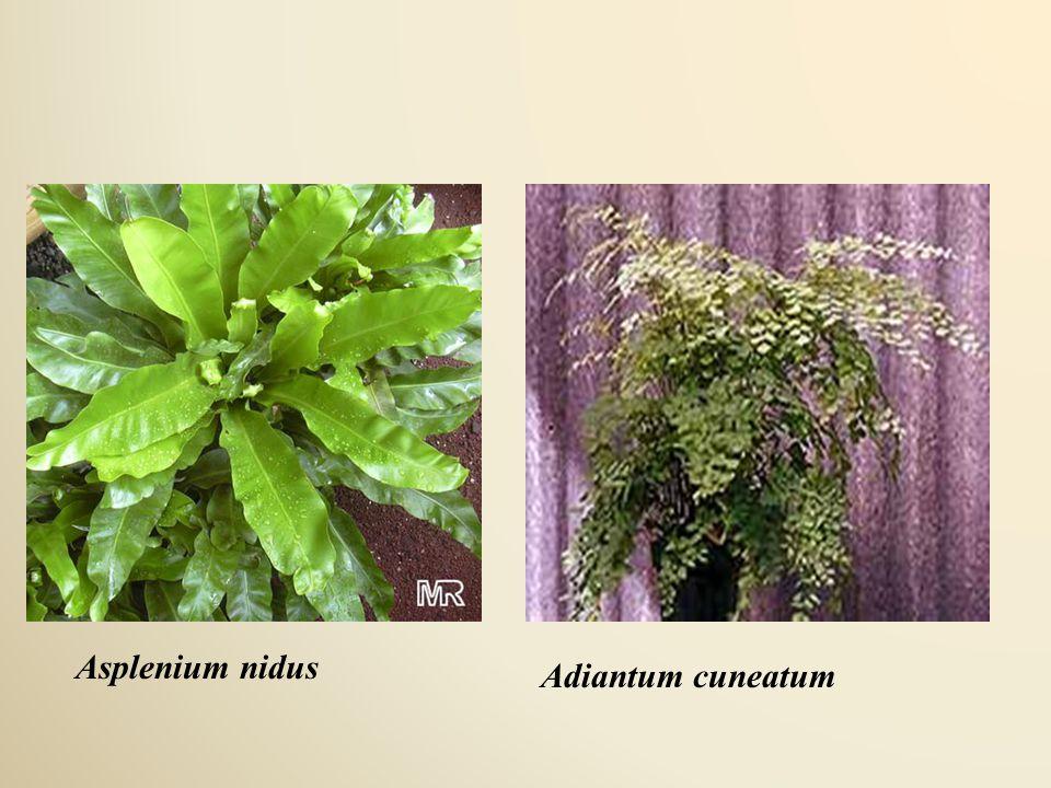 Asplenium nidus Adiantum cuneatum