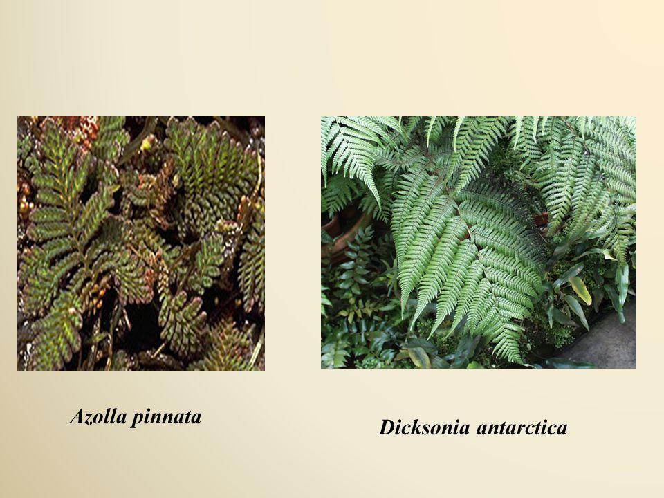 Azolla pinnata Dicksonia antarctica