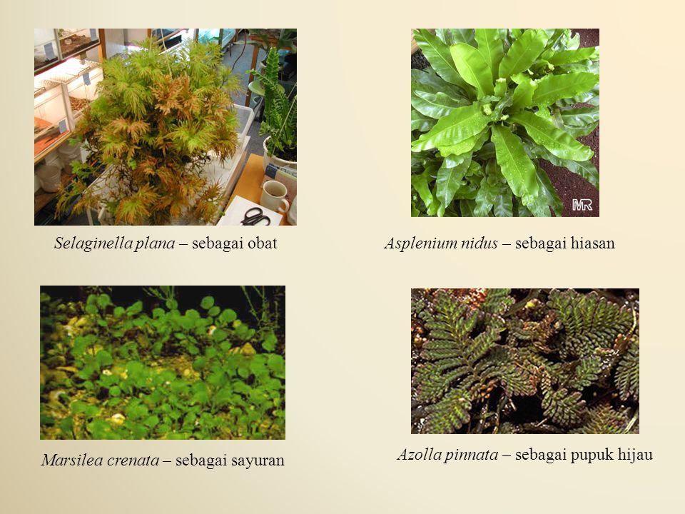 Selaginella plana – sebagai obat Asplenium nidus – sebagai hiasan