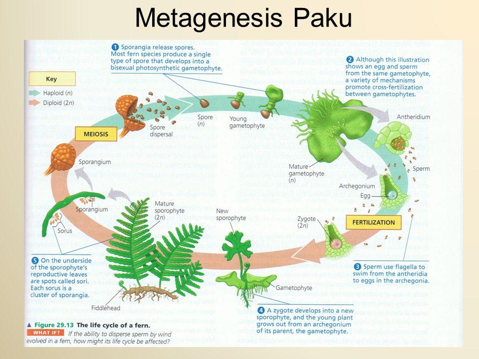 Metagenesis Paku