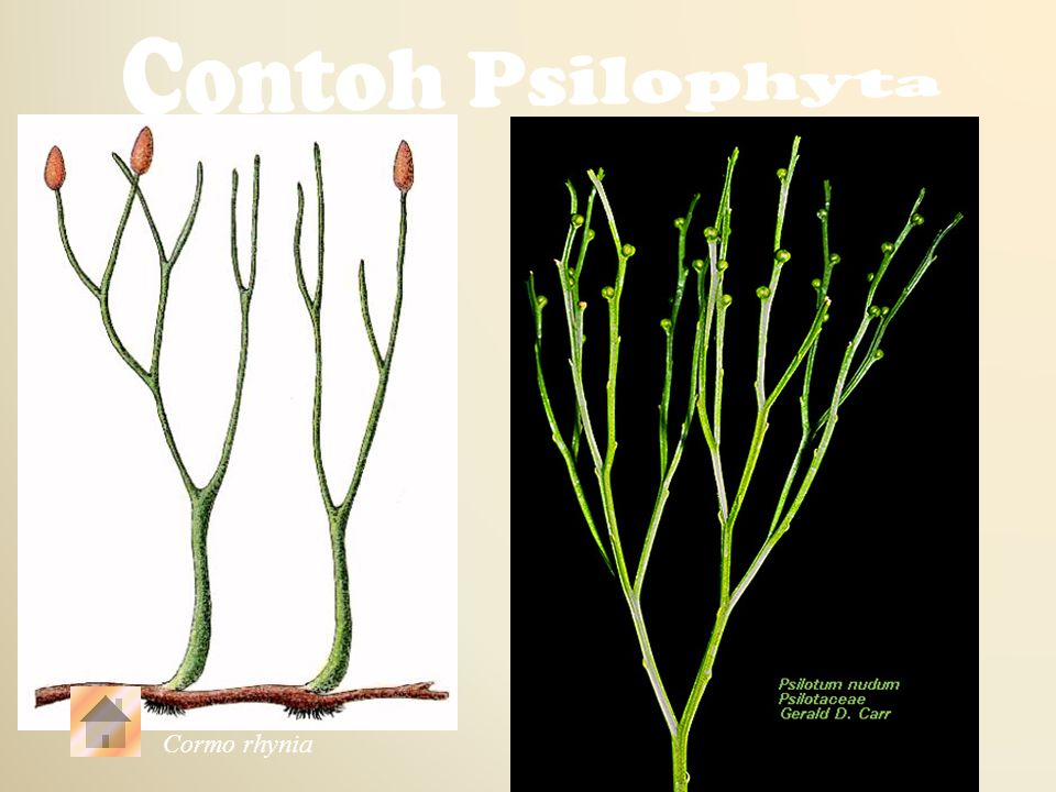 Contoh Psilophyta Psilotum Cormo rhynia
