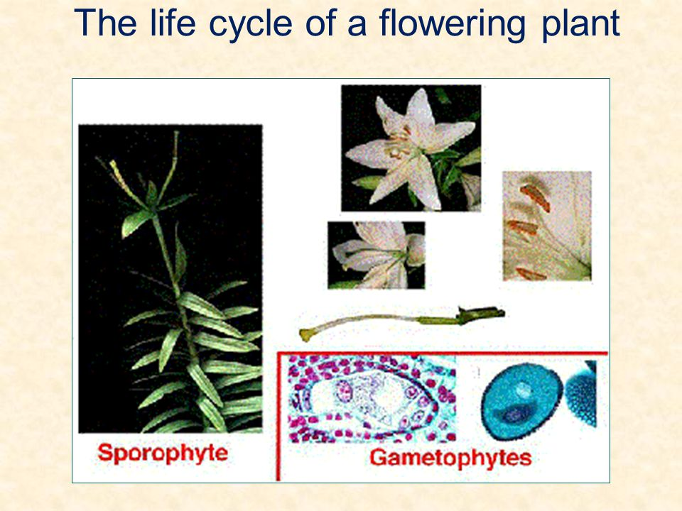 The life cycle of a flowering plant