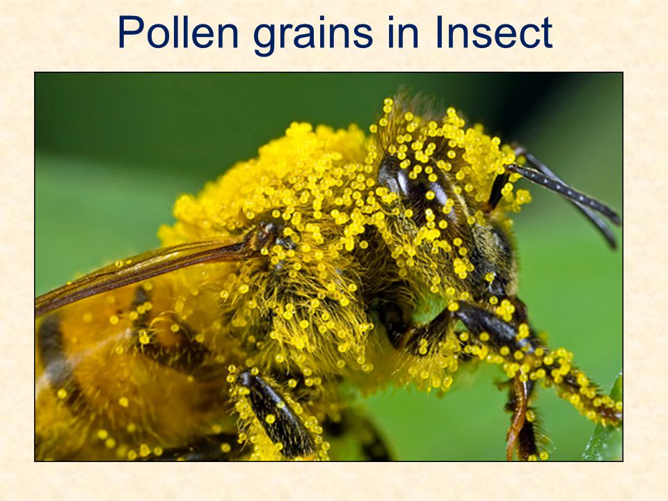 Pollen grains in Insect
