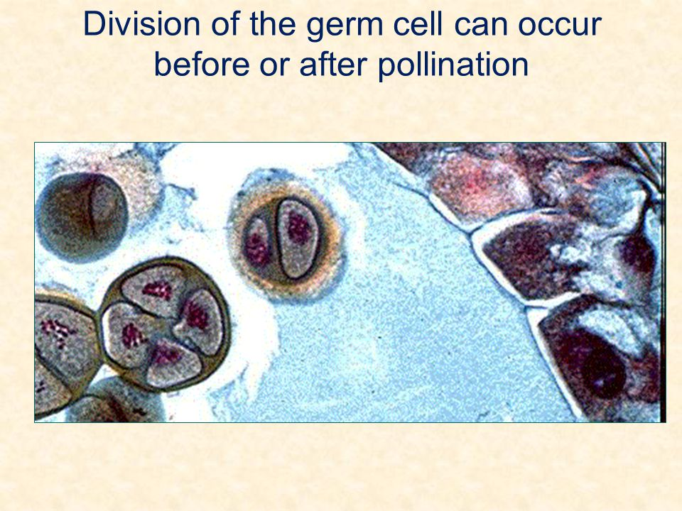 Division of the germ cell can occur before or after pollination