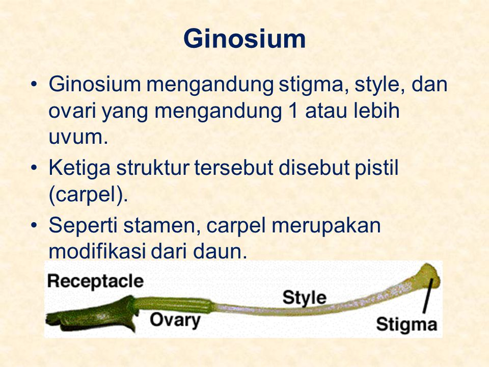 Ginosium Ginosium mengandung stigma, style, dan ovari yang mengandung 1 atau lebih uvum. Ketiga struktur tersebut disebut pistil (carpel).