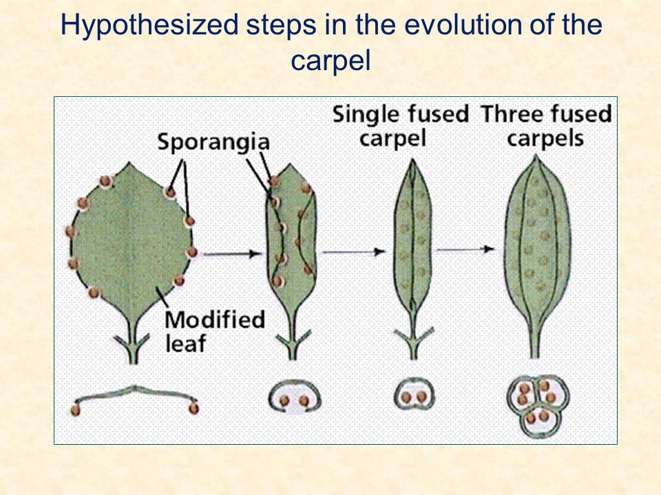 Hypothesized steps in the evolution of the carpel