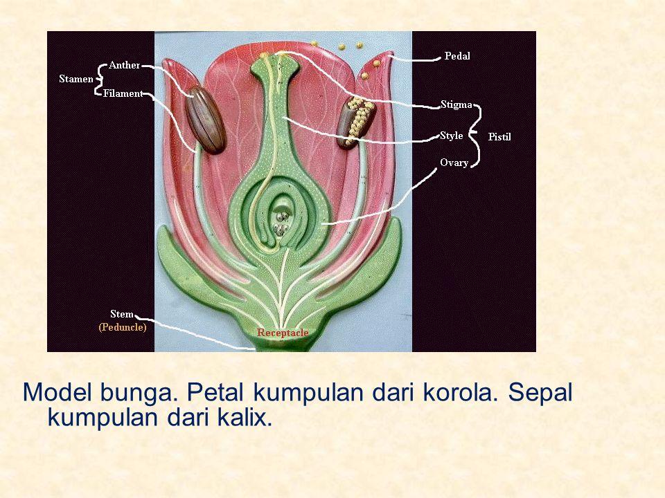 Model bunga. Petal kumpulan dari korola. Sepal kumpulan dari kalix.