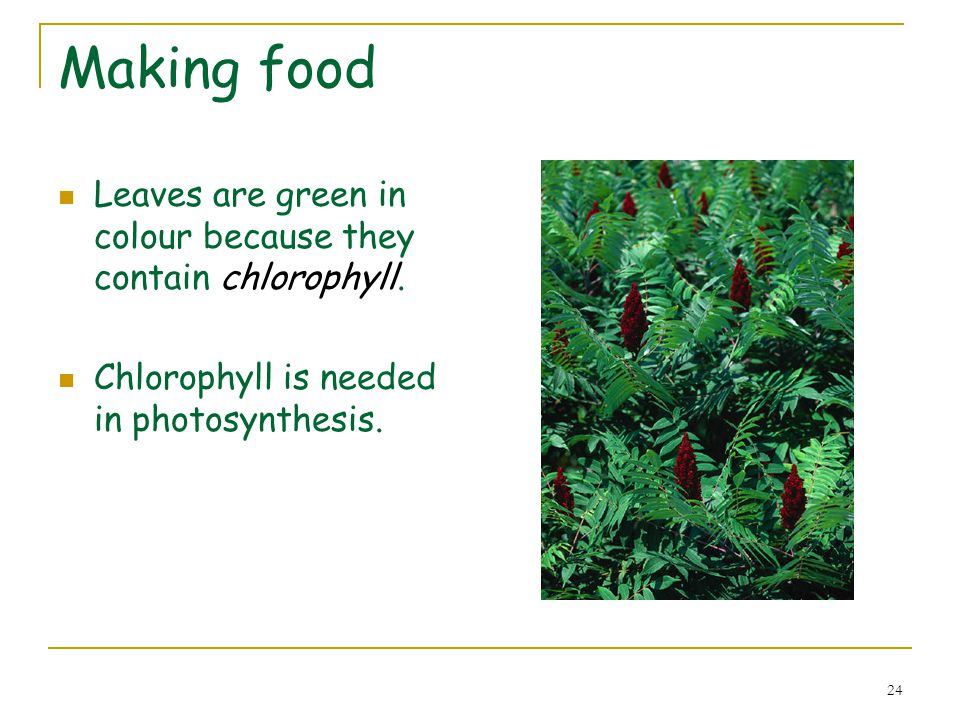Making food Leaves are green in colour because they contain chlorophyll.