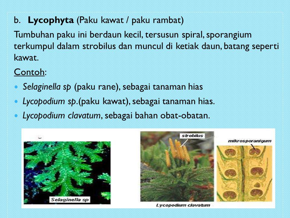 b. Lycophyta (Paku kawat / paku rambat)