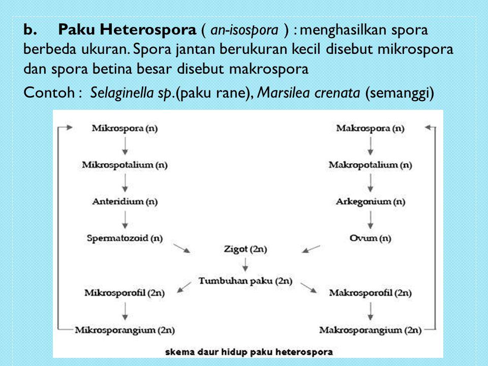 b. Paku Heterospora ( an-isospora ) : menghasilkan spora berbeda ukuran.