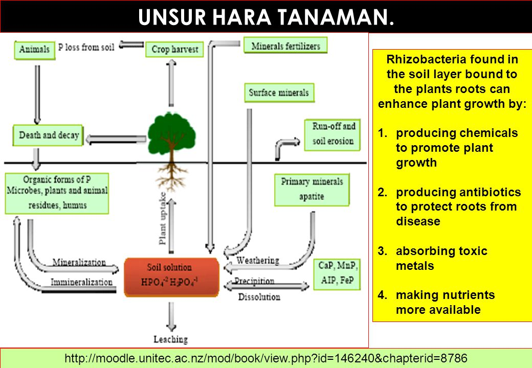 UNSUR HARA TANAMAN. Rhizobacteria found in the soil layer bound to the plants roots can enhance plant growth by: