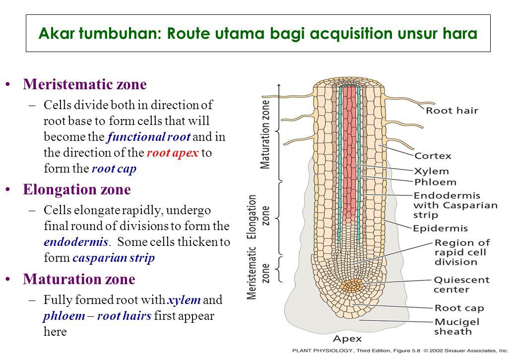 Akar tumbuhan: Route utama bagi acquisition unsur hara