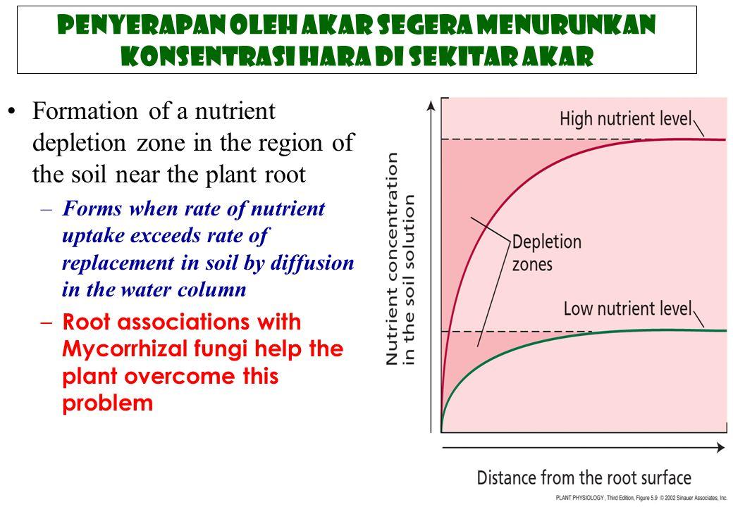 Penyerapan oleh akar segera menurunkan konsentrasi hara di sekitar akar