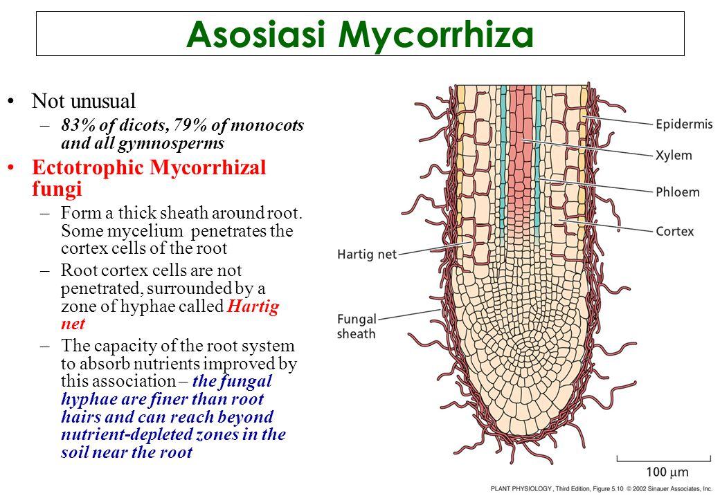 Asosiasi Mycorrhiza Not unusual Ectotrophic Mycorrhizal fungi