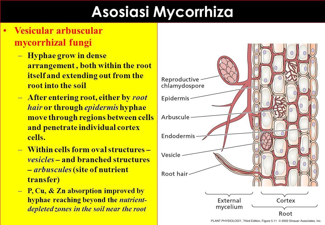 Asosiasi Mycorrhiza Vesicular arbuscular mycorrhizal fungi