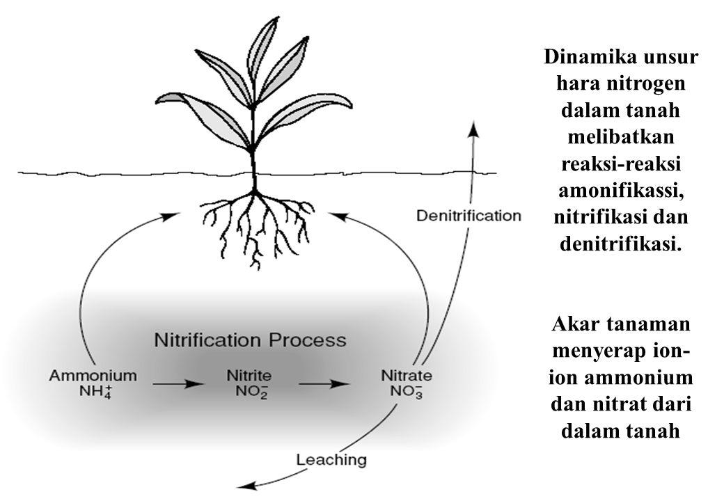 Akar tanaman menyerap ion-ion ammonium dan nitrat dari dalam tanah