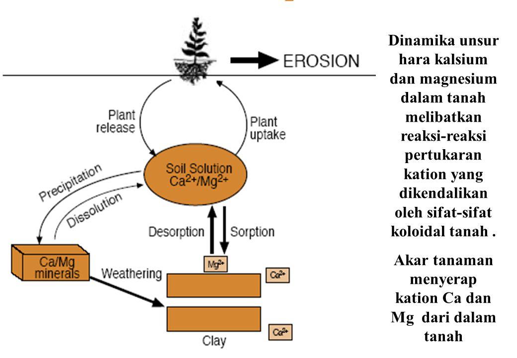 Akar tanaman menyerap kation Ca dan Mg dari dalam tanah