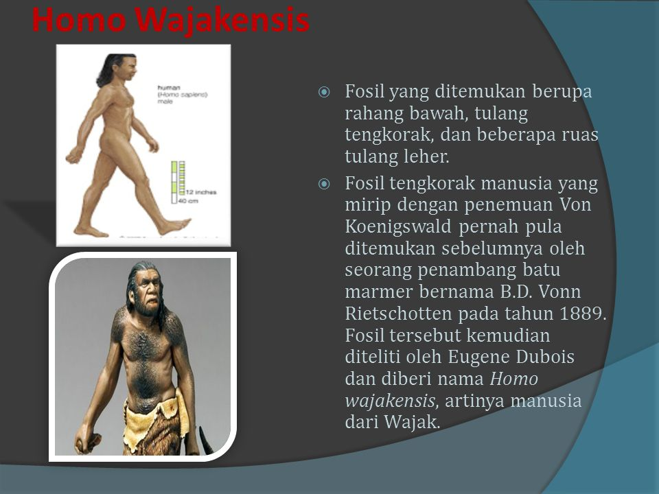 Homo Wajakensis Fosil yang ditemukan berupa rahang bawah, tulang tengkorak, dan beberapa ruas tulang leher.