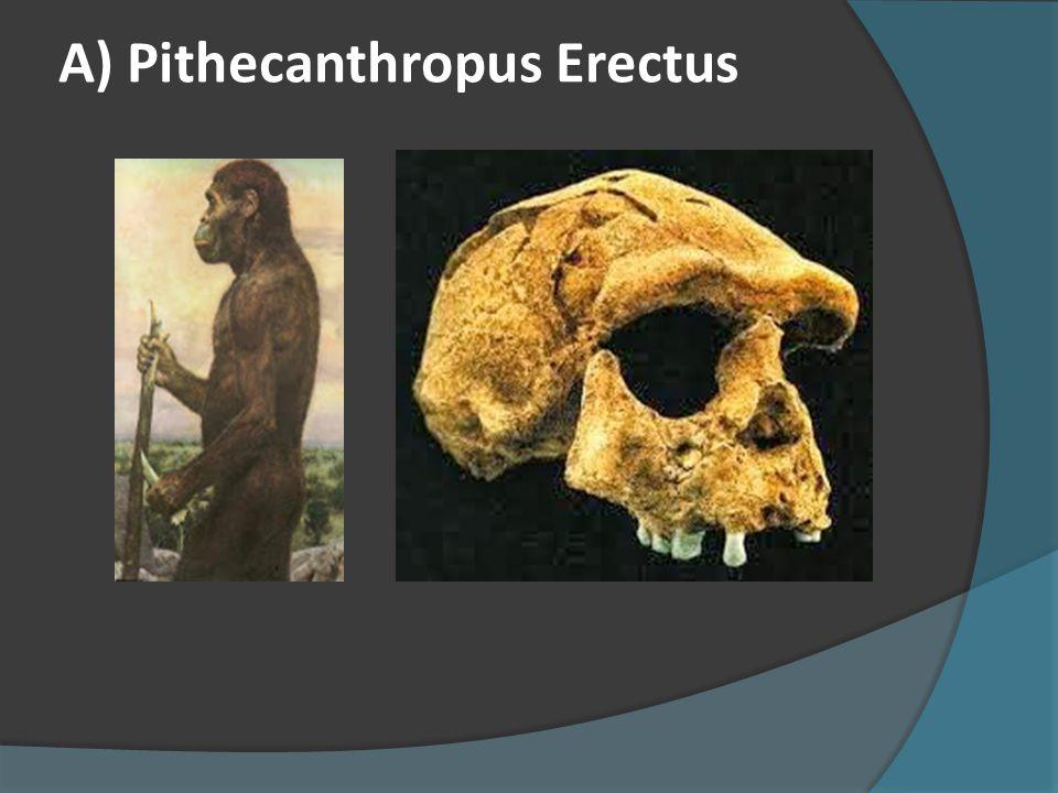 A) Pithecanthropus Erectus
