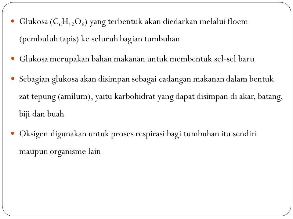 Glukosa (C6H12O6) yang terbentuk akan diedarkan melalui floem (pembuluh tapis) ke seluruh bagian tumbuhan