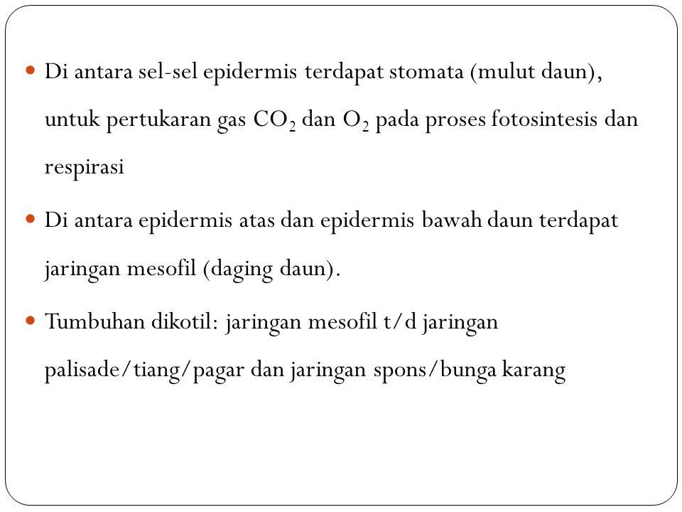 Di antara sel-sel epidermis terdapat stomata (mulut daun), untuk pertukaran gas CO2 dan O2 pada proses fotosintesis dan respirasi