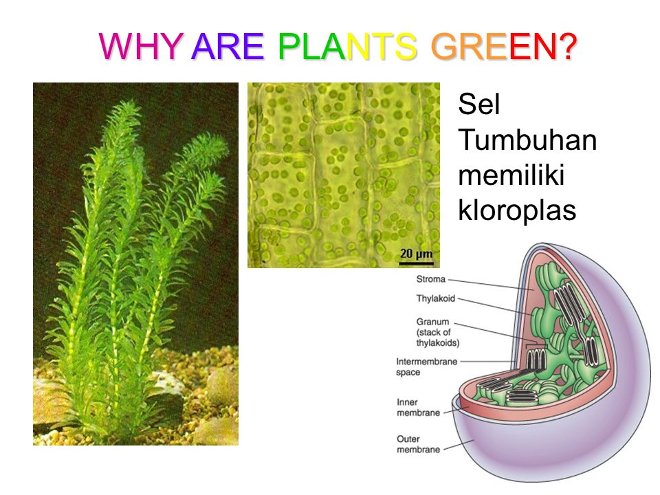 WHY ARE PLANTS GREEN Sel Tumbuhan memiliki kloroplas