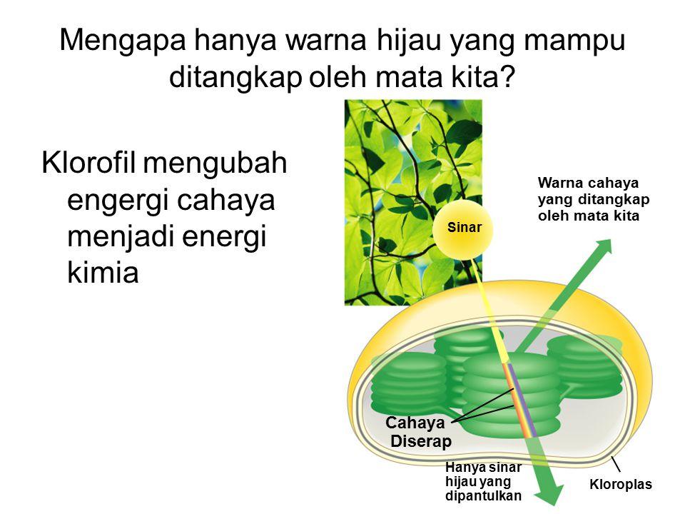 Mengapa hanya warna hijau yang mampu ditangkap oleh mata kita