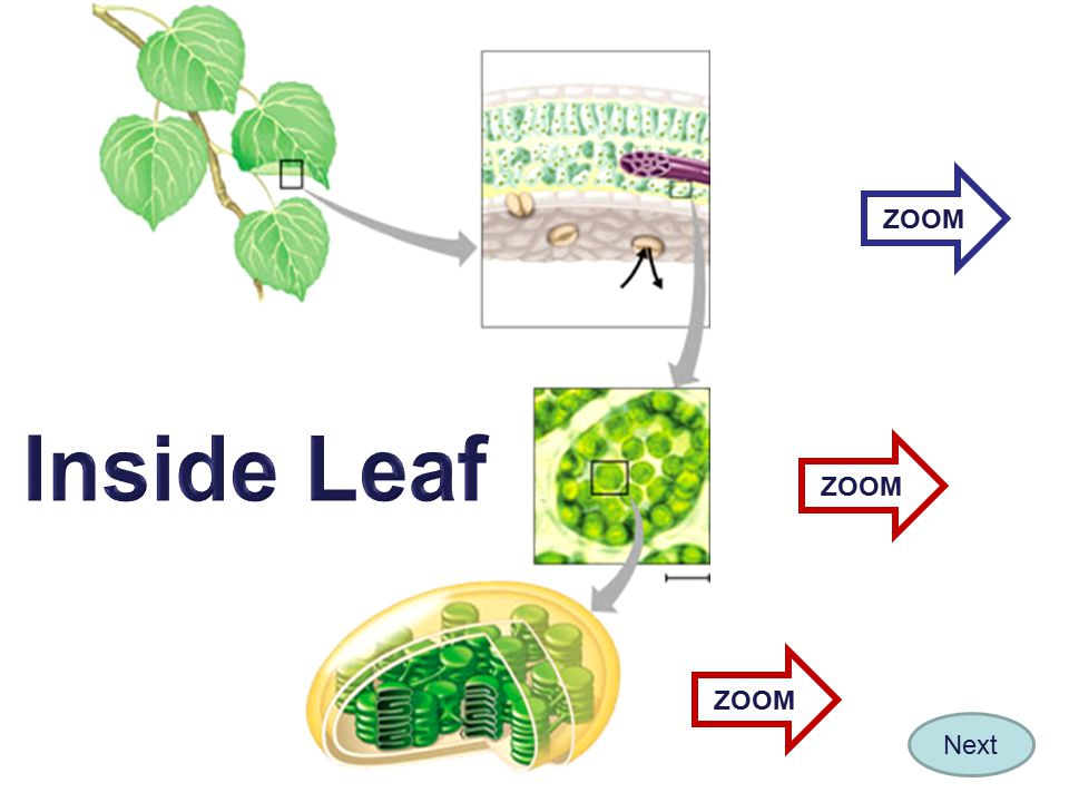 ZOOM Inside Leaf ZOOM ZOOM Next