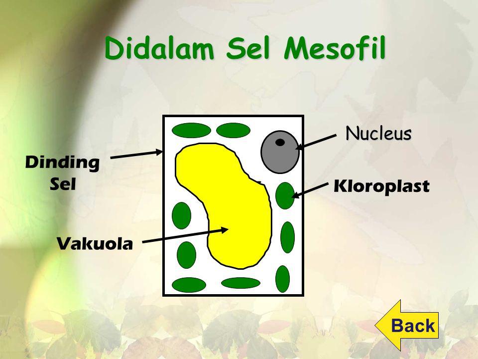 Didalam Sel Mesofil Nucleus Dinding Sel Kloroplast Vakuola Back