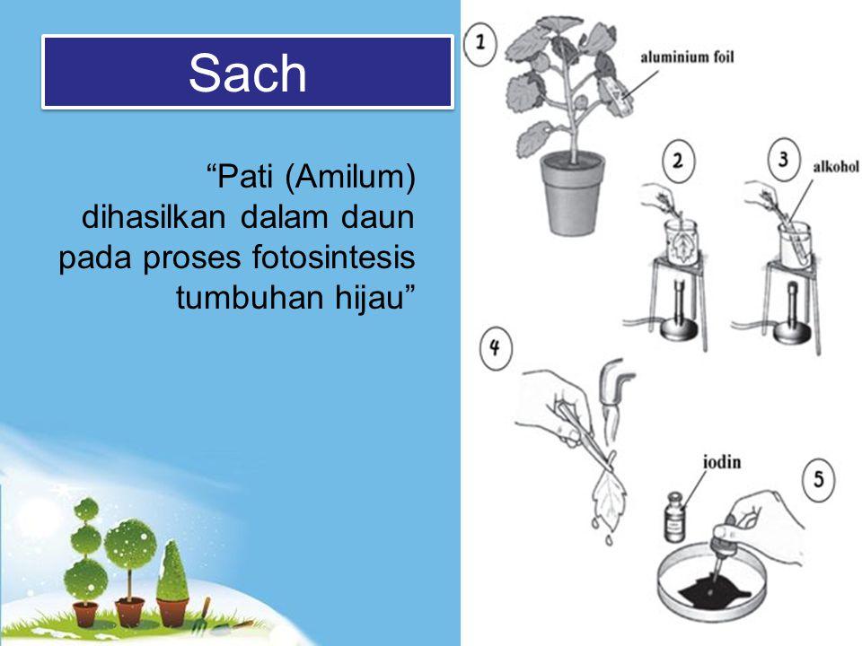 Sach Pati (Amilum) dihasilkan dalam daun pada proses fotosintesis tumbuhan hijau
