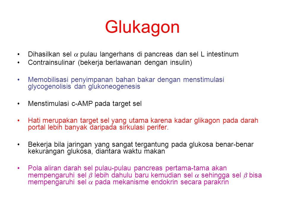 Glukagon Dihasilkan sel  pulau langerhans di pancreas dan sel L intestinum. Contrainsulinar (bekerja berlawanan dengan insulin)