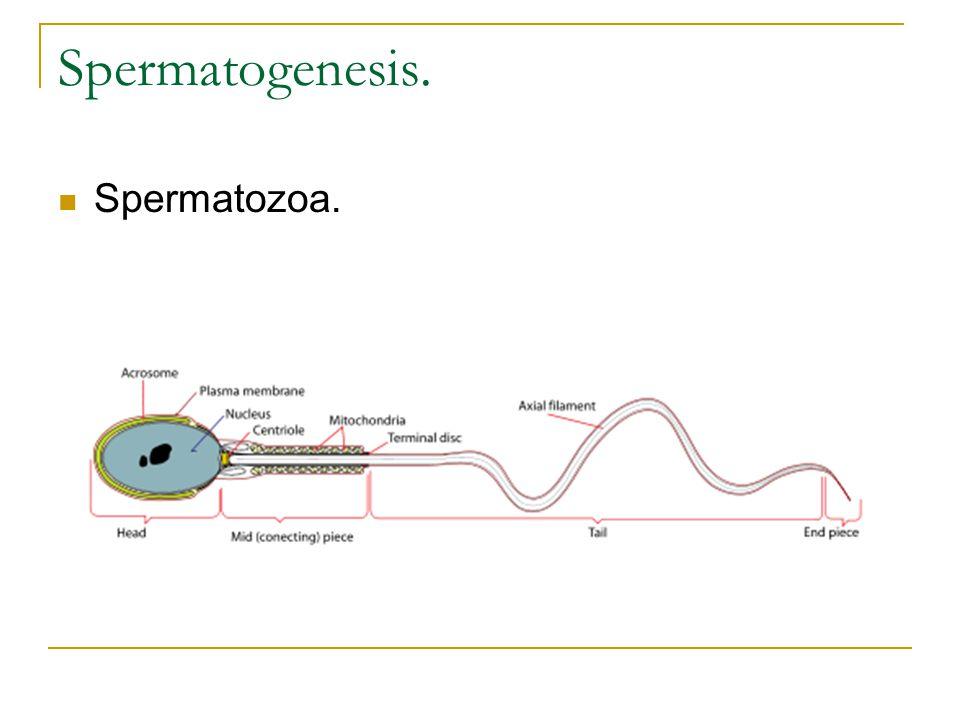 Spermatogenesis. Spermatozoa.