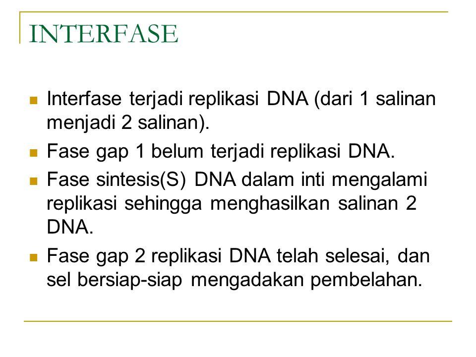 INTERFASE Interfase terjadi replikasi DNA (dari 1 salinan menjadi 2 salinan). Fase gap 1 belum terjadi replikasi DNA.