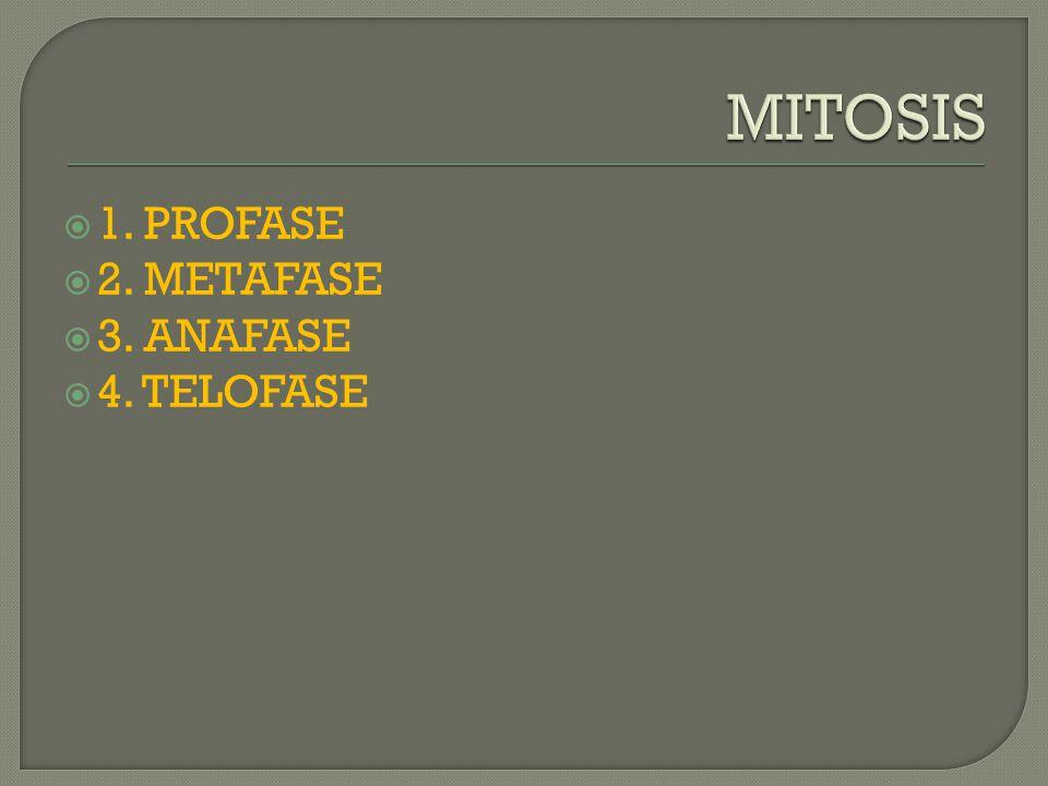 MITOSIS 1. PROFASE 2. METAFASE 3. ANAFASE 4. TELOFASE