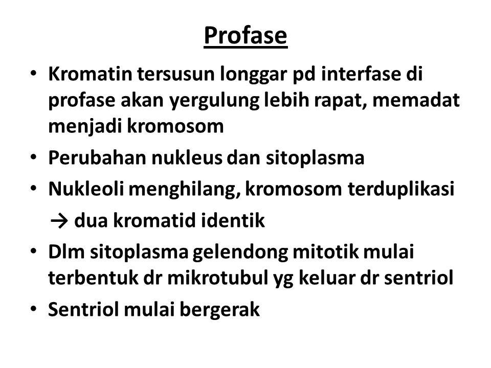 Profase Kromatin tersusun longgar pd interfase di profase akan yergulung lebih rapat, memadat menjadi kromosom.