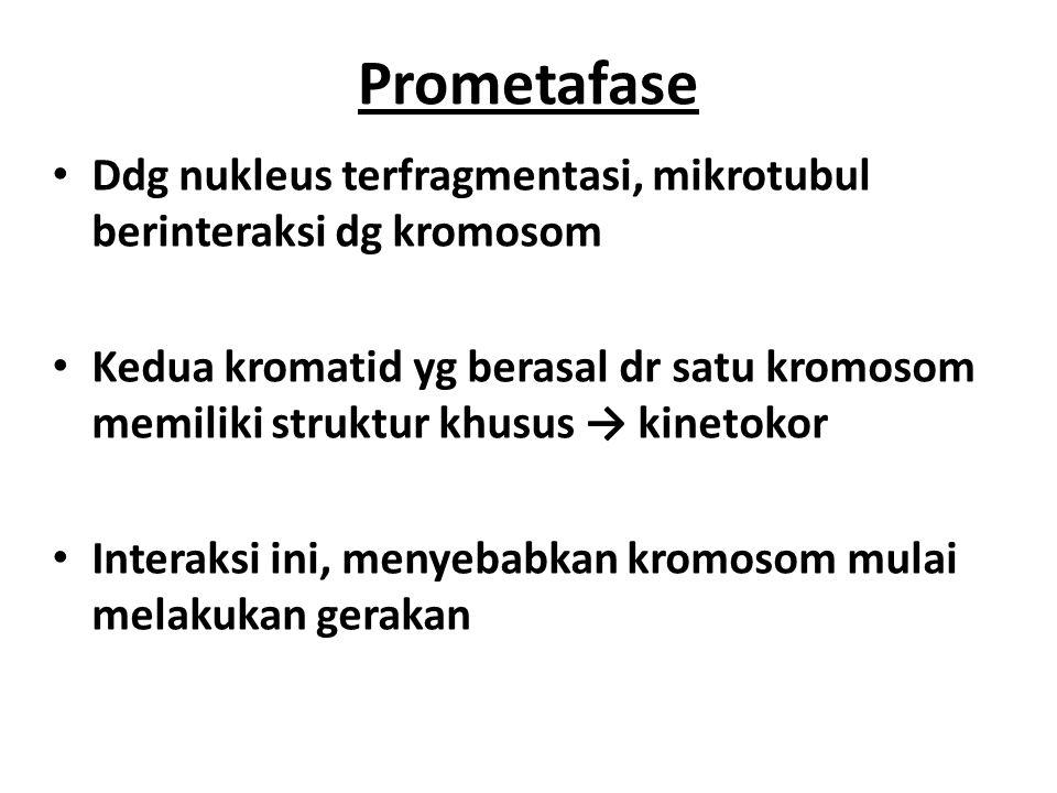 Prometafase Ddg nukleus terfragmentasi, mikrotubul berinteraksi dg kromosom.