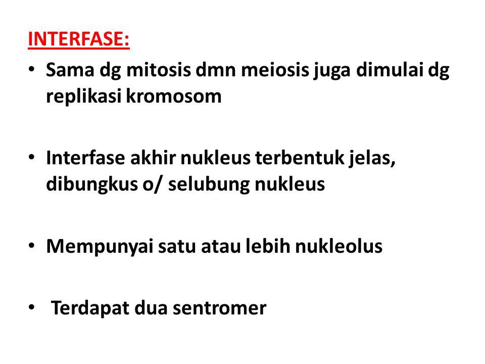 INTERFASE: Sama dg mitosis dmn meiosis juga dimulai dg replikasi kromosom. Interfase akhir nukleus terbentuk jelas, dibungkus o/ selubung nukleus.