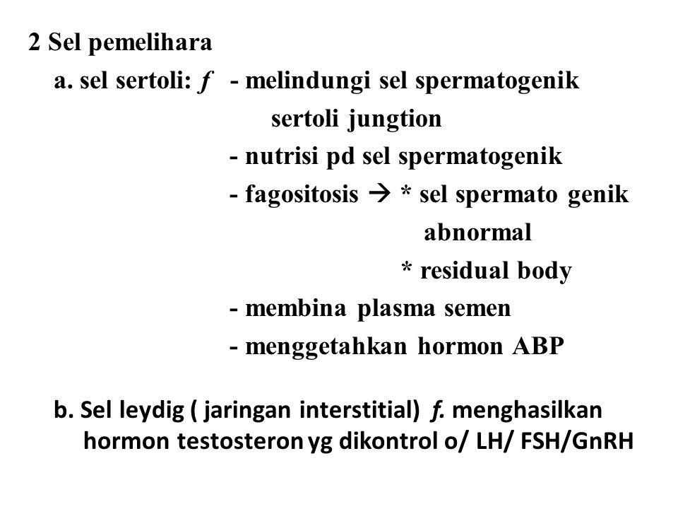 2 Sel pemelihara a. sel sertoli: f - melindungi sel spermatogenik. sertoli jungtion. - nutrisi pd sel spermatogenik.