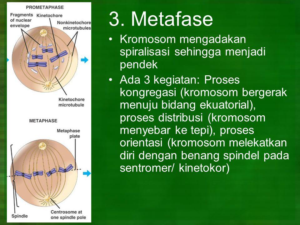 3. Metafase Kromosom mengadakan spiralisasi sehingga menjadi pendek