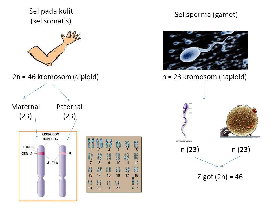 Sel pada kulit (sel somatis)