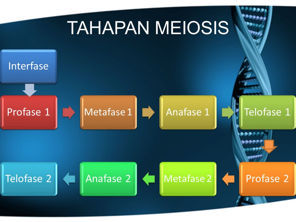 TAHAPAN MEIOSIS Interfase Anafase 1 Metafase 1 Metafase 2 Profase 1