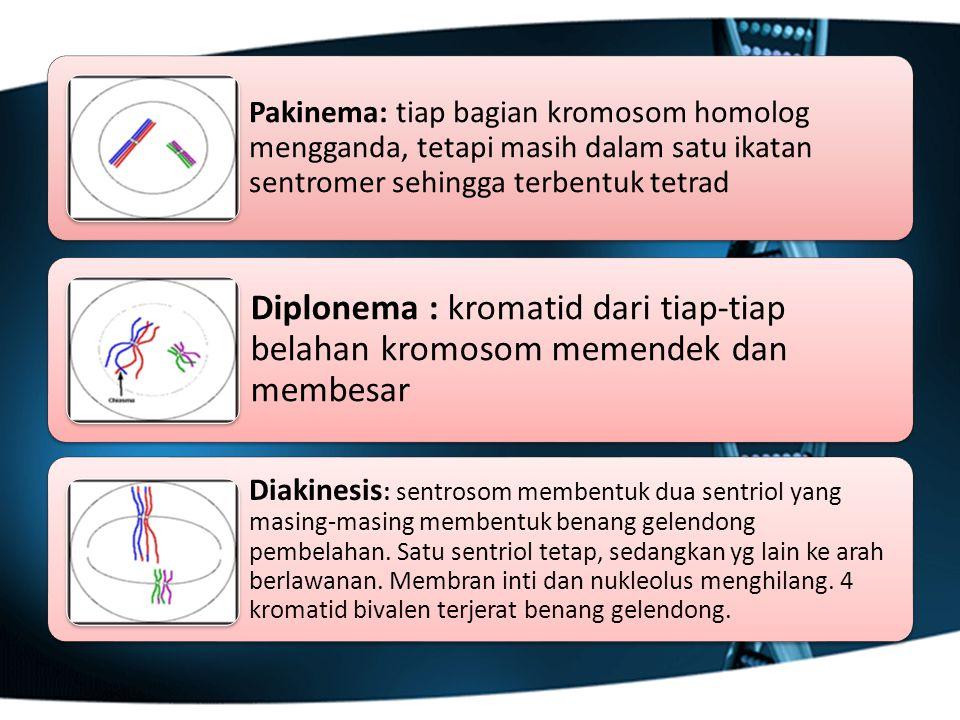 Pakinema: tiap bagian kromosom homolog mengganda, tetapi masih dalam satu ikatan sentromer sehingga terbentuk tetrad