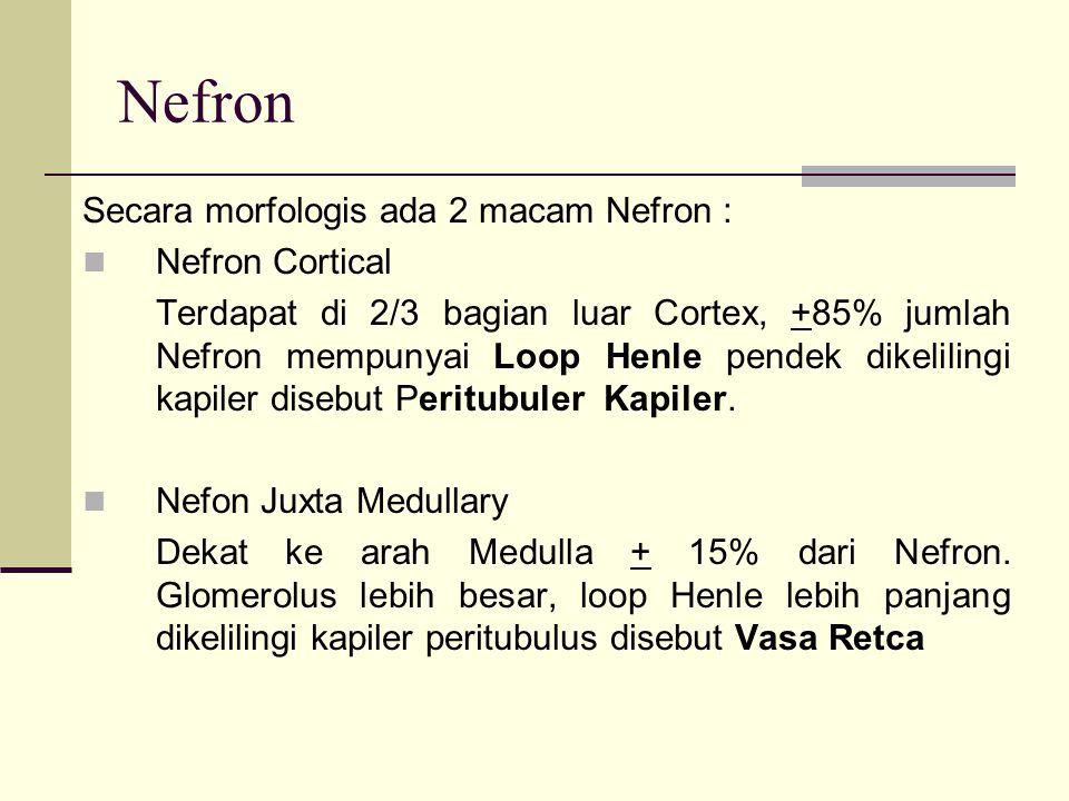 Nefron Secara morfologis ada 2 macam Nefron : Nefron Cortical
