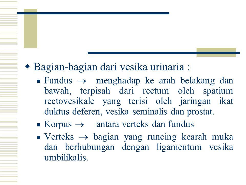 Bagian-bagian dari vesika urinaria :
