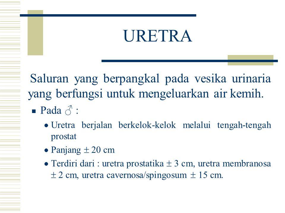 URETRA Saluran yang berpangkal pada vesika urinaria yang berfungsi untuk mengeluarkan air kemih. Pada ♂ :