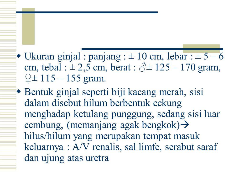 Ukuran ginjal : panjang : ± 10 cm, lebar : ± 5 – 6 cm, tebal : ± 2,5 cm, berat : ♂± 125 – 170 gram, ♀± 115 – 155 gram.