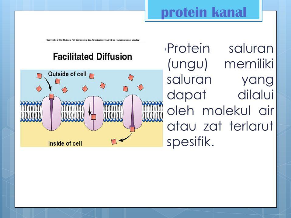 protein kanal Protein saluran (ungu) memiliki saluran yang dapat dilalui oleh molekul air atau zat terlarut spesifik.