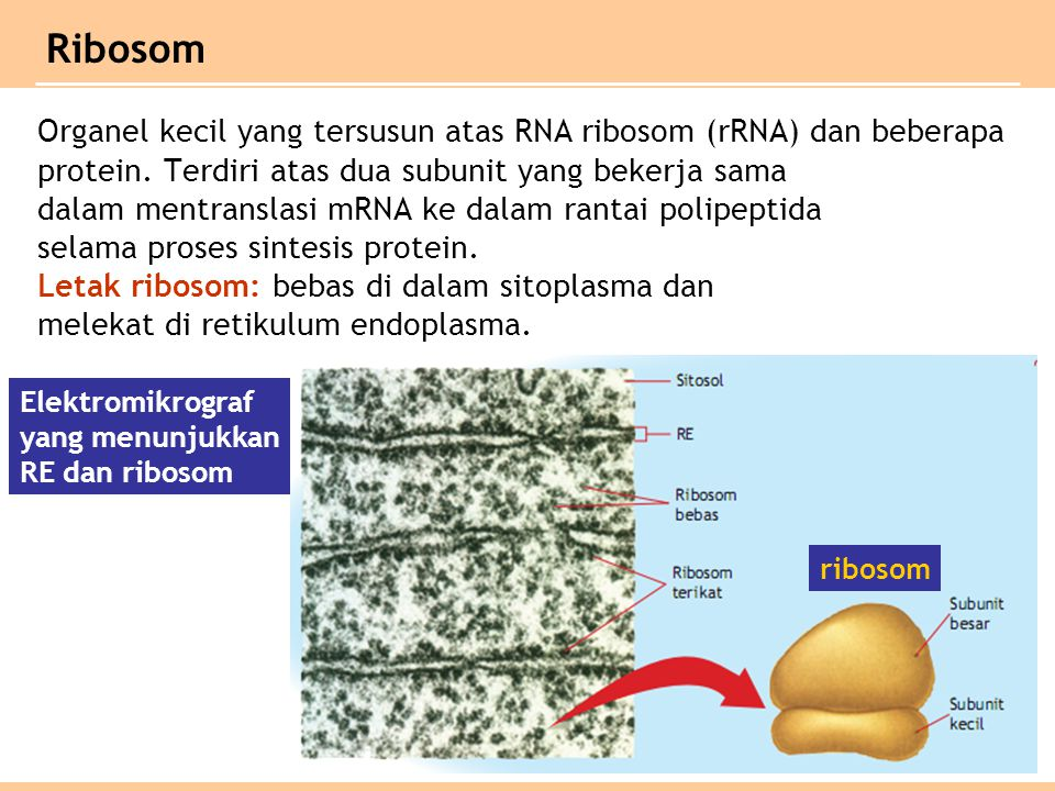 Ribosom Organel kecil yang tersusun atas RNA ribosom (rRNA) dan beberapa. protein. Terdiri atas dua subunit yang bekerja sama.